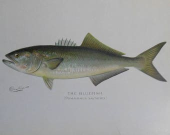 vintage Denton bluefish print pomatomus saltatrix
