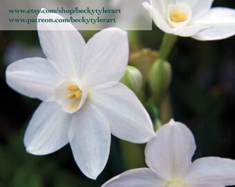 Narcissus Flower Fine Art Photo Print