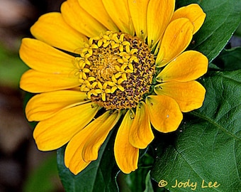 Zinnia, Flower Photography, Nature Photography, Orange Flower, Yellow Flower, Floral, Wall art, Flower print, Home decor,Nature Photography