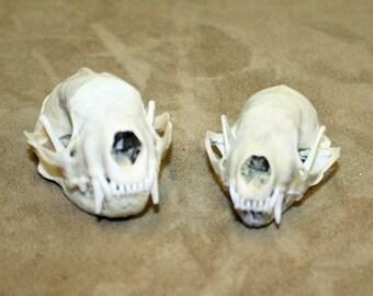 Glacier Wear Cleaned Skunk Skull