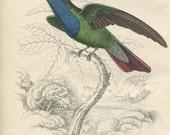 Black Friday Sale Antique Original Hand Colored Steel Engraved 1830's Book Plate Print Jardine Naturalist Library Plate Ornithology Bird Hum