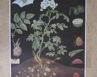 Original Vintage Potato School Poster - Original Botanical Poster - Jung Koch Quentell Educational Chart 1960s