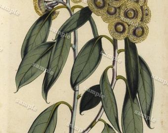 Eucalyptus 1852  Hand colored  Botanical  Hand Colored  Flora Lithograph Original art wall art decorative art