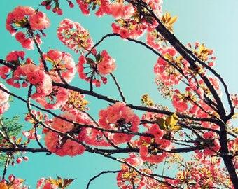 Cherry Blossoms - Pink Spring - Flowering Tree - Sakura - Spring Firework - Flower Photograph - Elegant Flower Art - Nature  Photograph