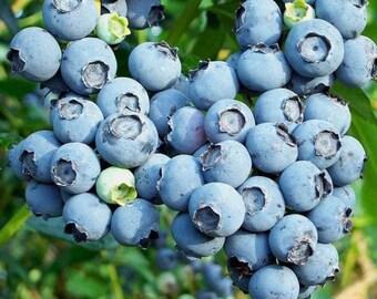Premier Blueberry Bush