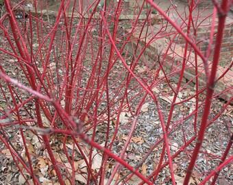 "Cardinal Red twig Dogwood - Live Plant - 4"" JumpStarts® Plug"