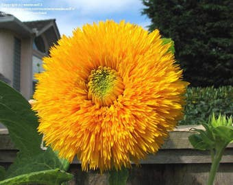 ASU)~GIANT SUNGOLD Sunflower~Seed!!~~~~~~Impressive Double Flowers!