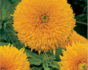 ASU)~SANTA FE Sunflower~Seeds!!~~As Beautiful as the City!