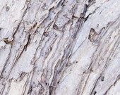 Nature Photography -  Paperbark  -  Grey and White  - Pastel Tones- Fine art for your home