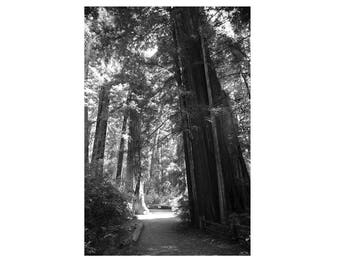 Tree Photography, Black & White Photo,  Redwoods art print, California Wall Art, Travel prints, Landscape Photograph, Tree art   - Giants