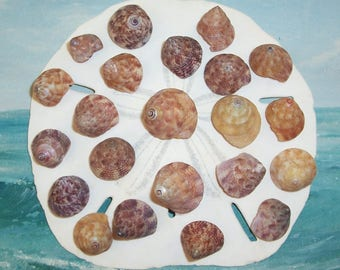 Lot of 22 Purple & Yellow FLORIDA Top Shells SEASHELLS