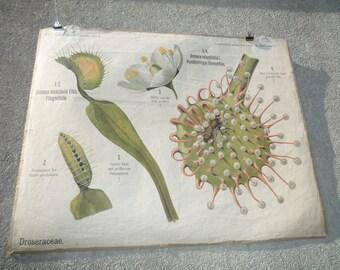 Rare antique German Botanical School Wall Chart Biology Botany Flower Plant Anatomy CIRCA 1910 A PETER Berlin Paul Parey DROSERA Droseraceae