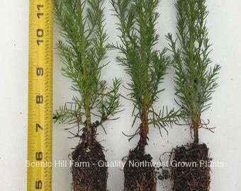 """3 Giant Sequoia Trees - California Redwood - Potted - 8""""-12"""" Tall Seedlings"""