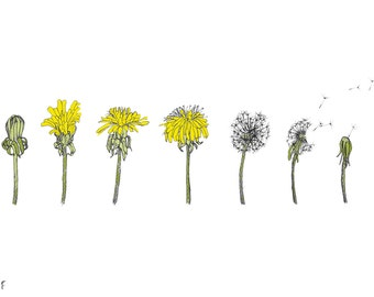 Dandelion Lifecycle