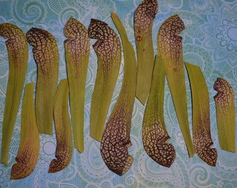 Pressed pitcher plants - lot of 12