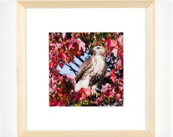 """Red-tailed Hawk - 5""""x5"""" Framed Art Photograph (8""""x8"""" with frame)"""