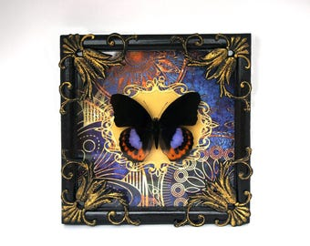 Real butterfly Hypolimnas pandarus / moth oddity curiosity home decor framed insect natural history taxidermy dark art