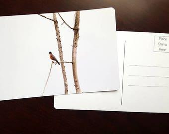 American Robin, Fine Art Photography Postcard, Graduation Card, Greeting Card, Minimalist Card, Unique Card, Archival Paper Bird Photography