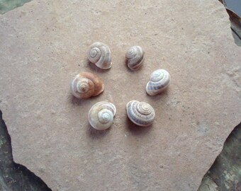 Real Tree Snail Shells - Brown Garden Snail, Helix aspera Escargot Shells Craft Nature Supplies