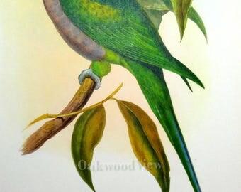 Lord Derby's Parakeet Tropical Bird by John Gould, Vintage Colorful 12x15 Avian Art Print c1960, Palaeornis Derbianus, FREE SHIPPING