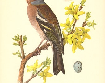 1953 Common Chaffinch - Fringilla coelebs Vintage Offset Lithograph