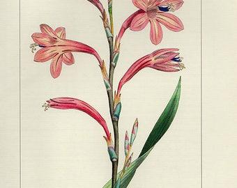 Vintage WATSONIA MERIANA Botanical Print Antique Flowers 53 plant print botanical lithograph print bookplate wall art print flower plant