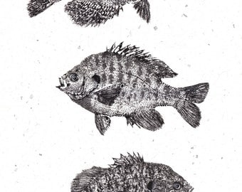 THREE PANFISH Gyotaku print - Crappie, Bluegill, Pumpkinseed - traditional Japanese fish art