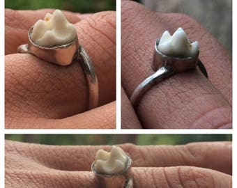 Real Raccoon Molar Tooth Ring Sterling Silver Size 8