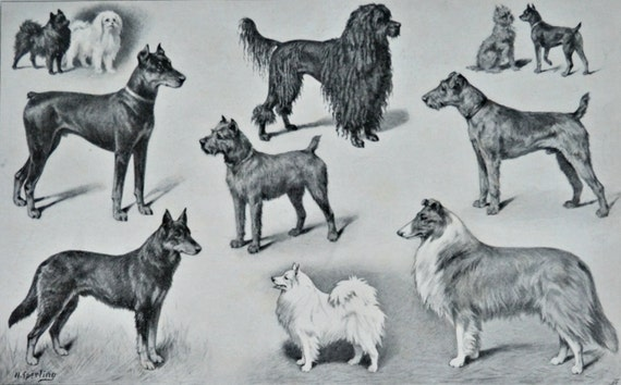 Dogs print. Dog breeds. Old book plate, 1904. Antique  illustration. 112 years lithograph. 9'6 x  11'9 inches.