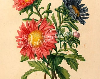 flowers-32408 - Bellis Daisy Aster red blue nice flowers bouquet flavor multicolor digital vintage illustration plate book page picture jpeg