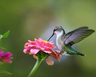 Humming bird Photography, Hummingbird, Hummingbird Gift,  Fine Art Photography, Photography Print, Bird Art, Hummingbird Photo, Bird Print