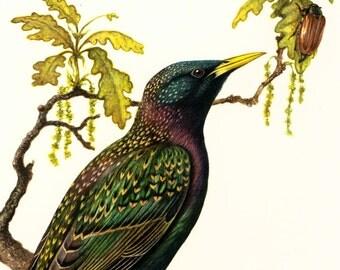 1969 Common Starling, vintage Bird Print, Ornithology, nature wall art