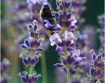 Lavender vera - 125 seeds (Organic/non-GMO)