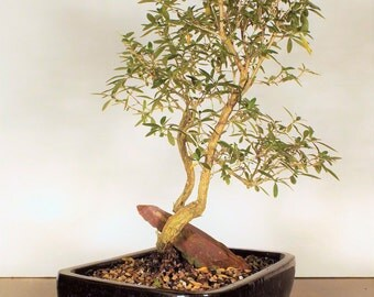 Mt Fuji serrisa bonsai with a blood stone in a black pot. One of a kind bonsai and stone combo this bonsai will also produce a white flower.