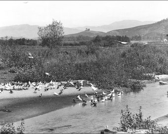 16x24 Poster; Pigeons In The Los Angeles River On A Pigeon Ranch, Ca.1900 (Chs-1497) #031715
