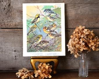 Vintage Allan Brooks Pine Cerulean Black-Throated Green Warbler Bird Art Print Ornithology ID Book Plate Naturalist Illustration Portrait 17