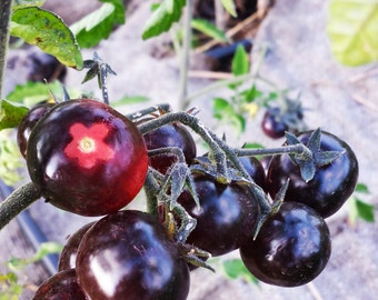 Indigo cherry tomato seeds, open polinated