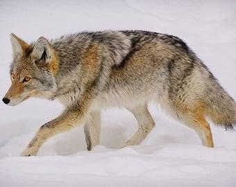 Yellowstone Winter Wildlife Fine Art Giclée Print Featuring Fine Art Wildlife Photography - Modern Wall Art - Yellowstone Winter Coyote
