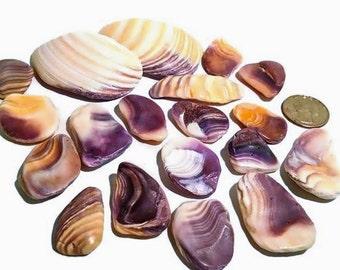 Wampum Shell Pieces -Hand Collected, quahog shell, craft shells, bulk shell, beach decor, purple shells, mosaic supplies, beach decor