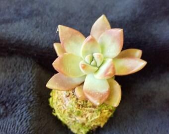Teeny Tiny Kokedama live succulent