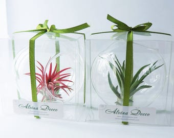 Air plant gift box - tillandsia air plant customize set green live plant glass orb