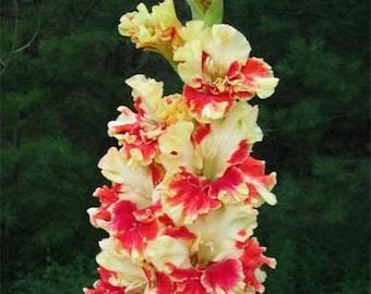 Gladiolus Bulbs, (not seeds) Perennial Flower 5 Bulbs (item No: 23)