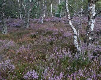 Fotografia Bosco di betulle e eriche, fotografia paesaggio, fotografia bosco Scozia, fotografia Fine Art