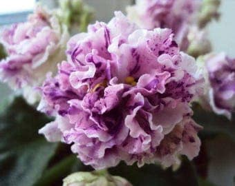 African Violet LE-Isadora ~ Beautiful Houseplant