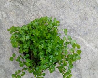 6 x  Hexline moss ( Soleria )Plugs