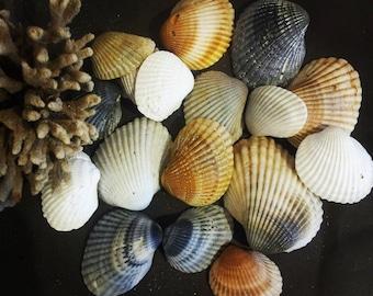 25 Cardita Seashells - Seashells - Australian Seashells -  Seashell Craft - Seashell Decor - Natural Shells