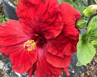 Tropical Exotic Hibiscus 'Red Ruby' ~ Live Starter Plant