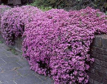 Saponaria Ocymoidea Pink - Perennial (500 SEEDS)