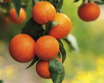 Orange, Wild (Citrus sinensis) Wildcrafted Essential Oil