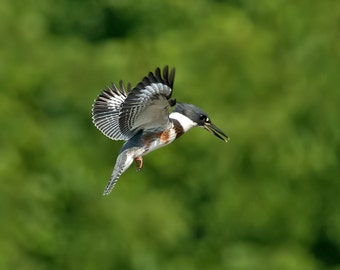 16x20 Canvas Print of Belted Kingfisher Hovering for Attack